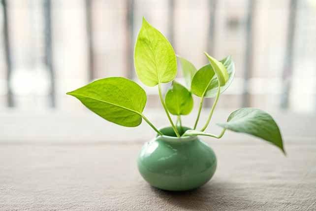 Money plant indoor